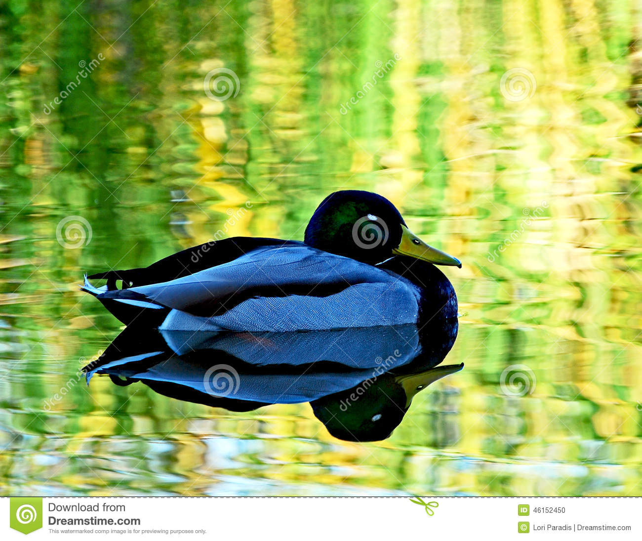 Peaceful mallard stock photo image 46152450 for Santee business license