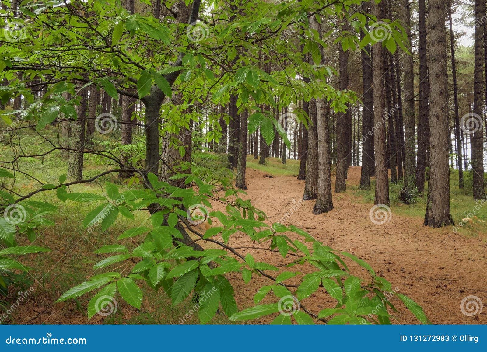 Chestnut Leaves In Forest Pines Of Etna Park, Sicily