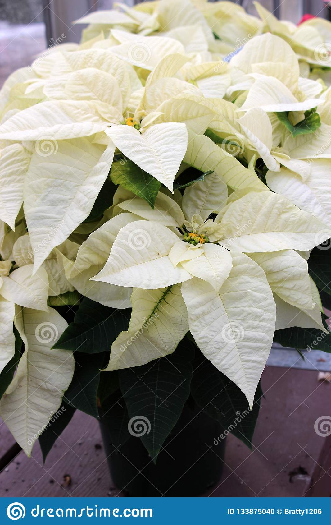 Large White Leaves And Tiny Yellow Flowers On Potted Poinsettia