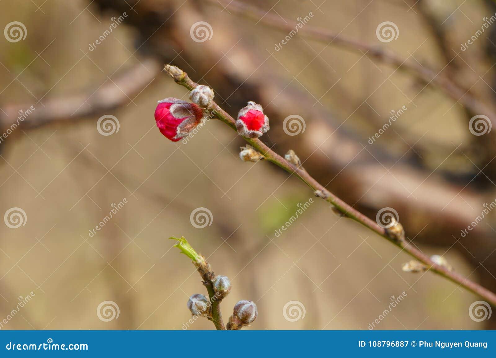 Peach Blossom Buds For Spring Stock Image Image Of Close Enjoy