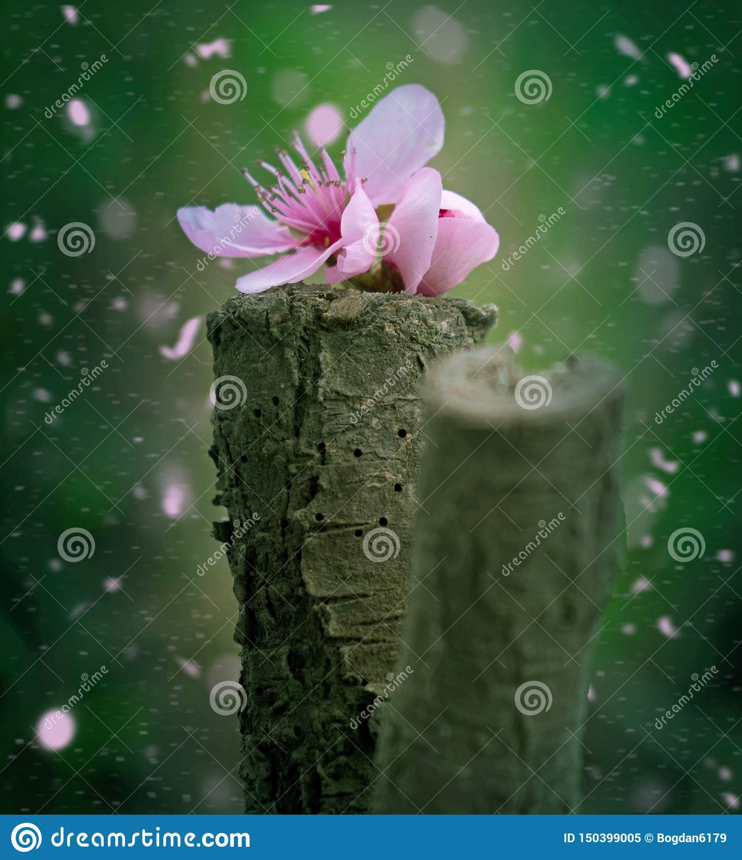 Book cover. Card.Peach blossom flower fallen on a piece of wood