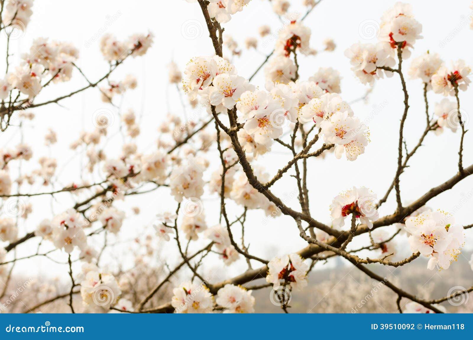 Peach Blossom hillside