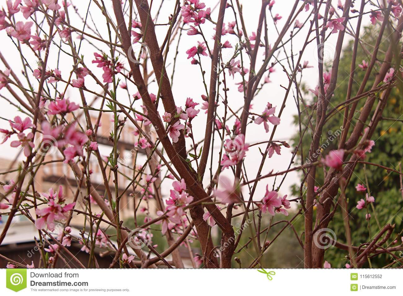 Peach Blossom Peach Tree With Beautiful Pink Peach Flowers Stock