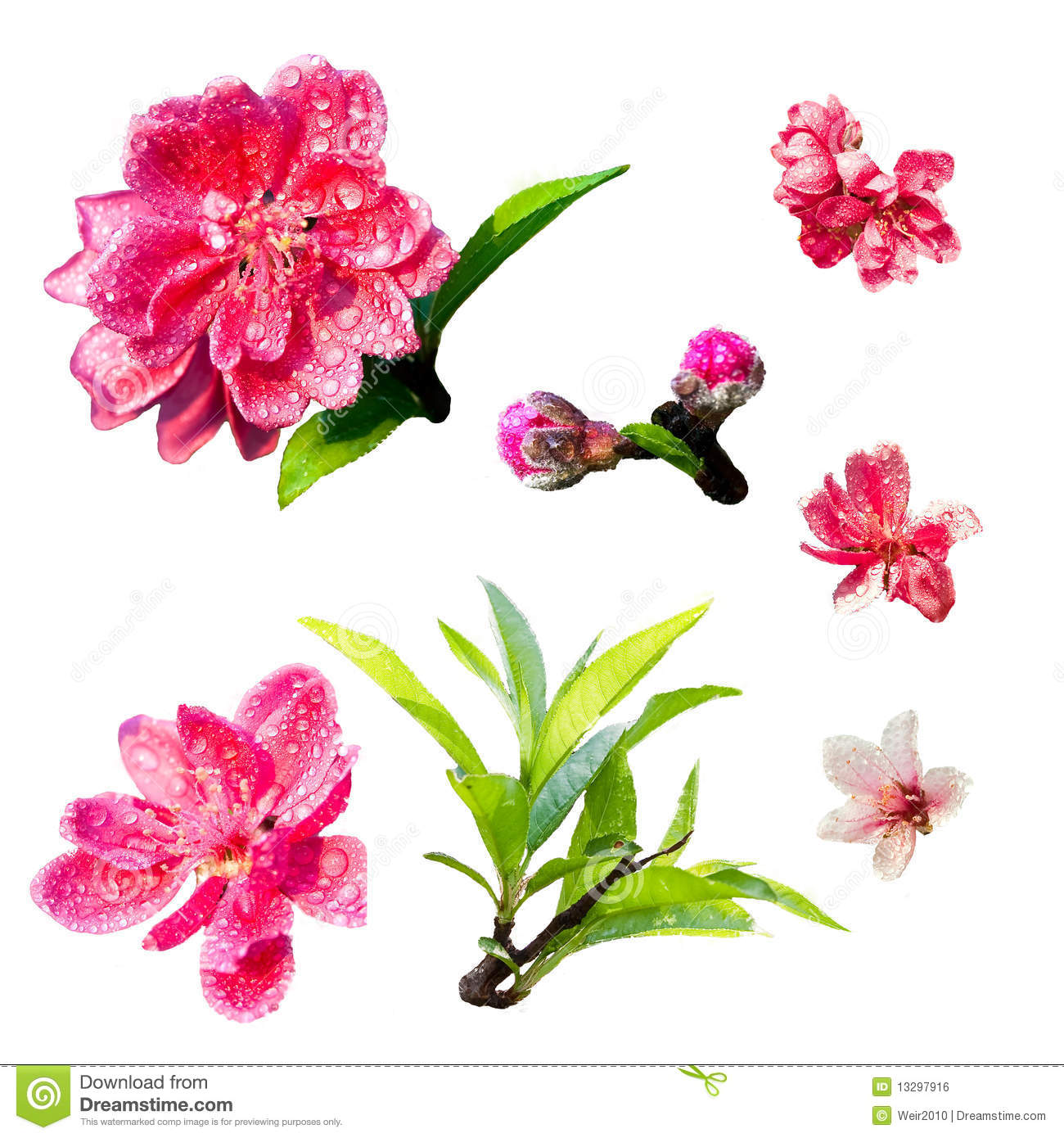 Peach blossom with white background