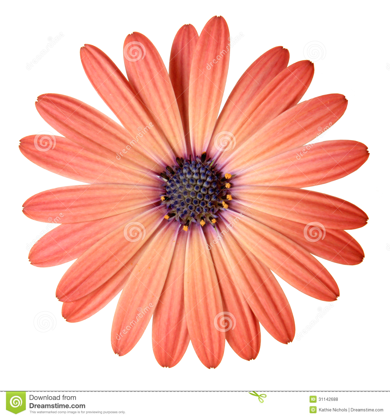 peach color daisy royalty free stock photos  image, Beautiful flower