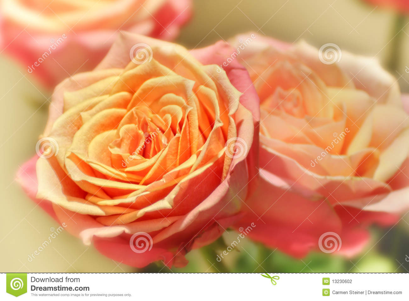 peach colored roses stock photo image of focus flower 13230602