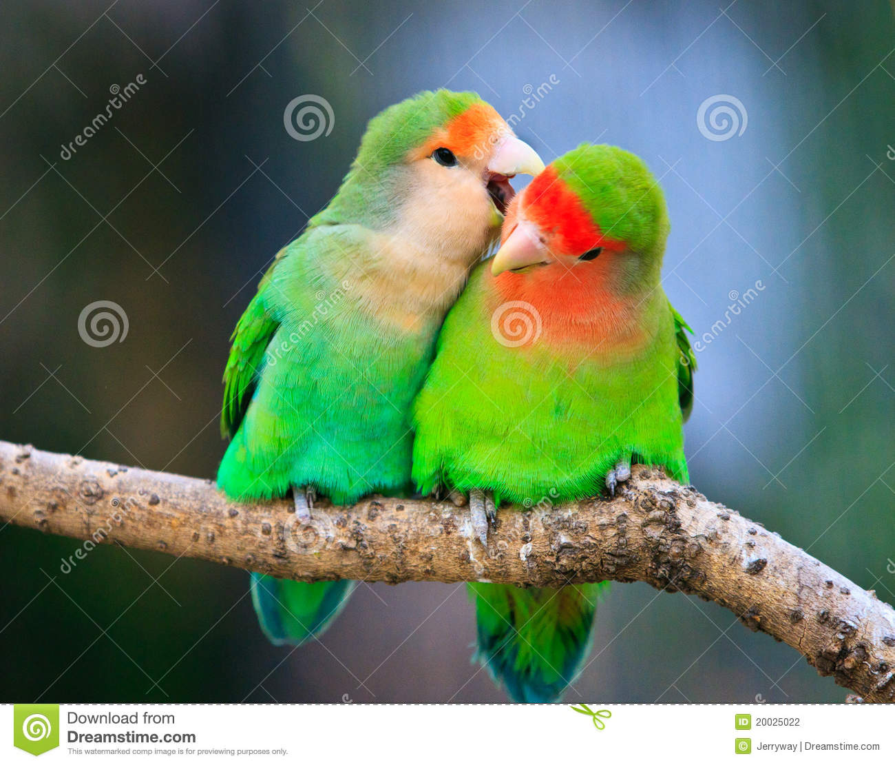 love birds how to tell male from female