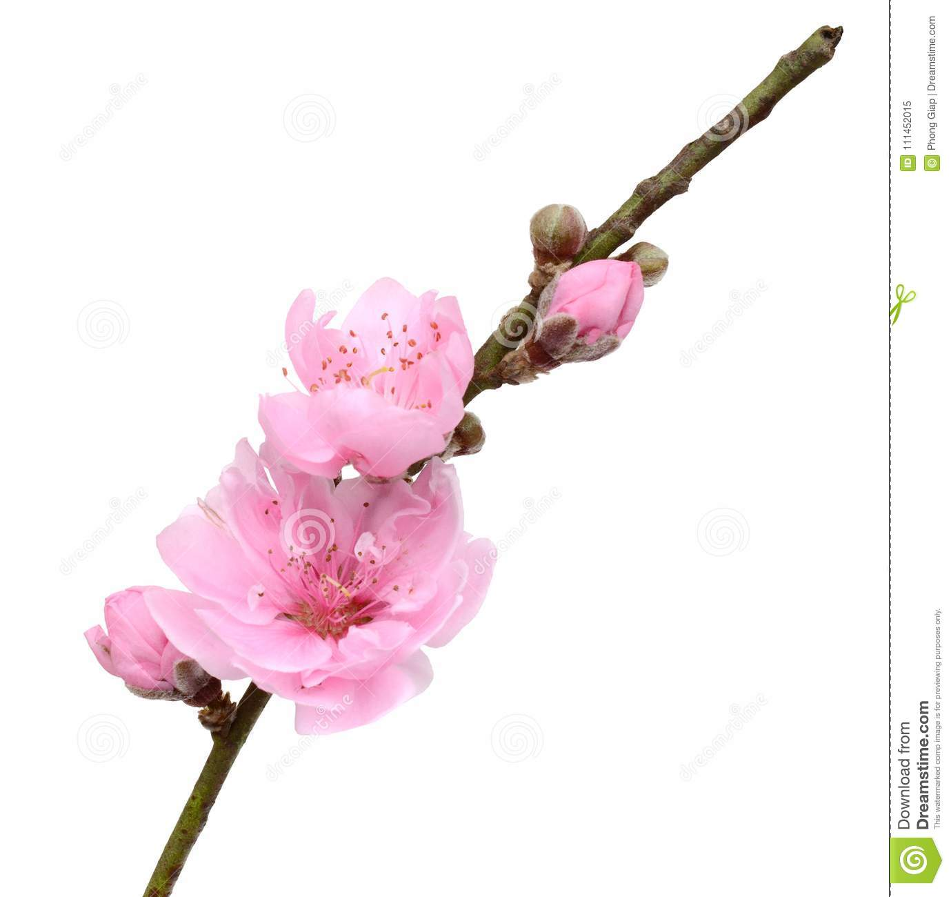 Peach Flowers Stock Image Image Of Meaning Happy Decorate 111452015
