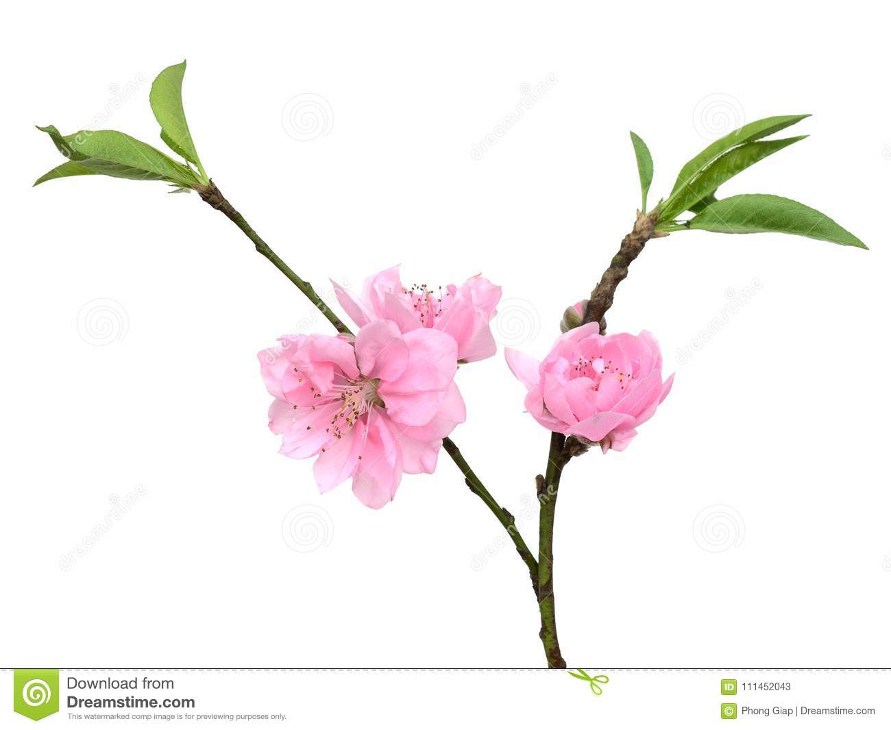 Peach Flowers Stock Image Image Of Pink Meaning Brown 111452043