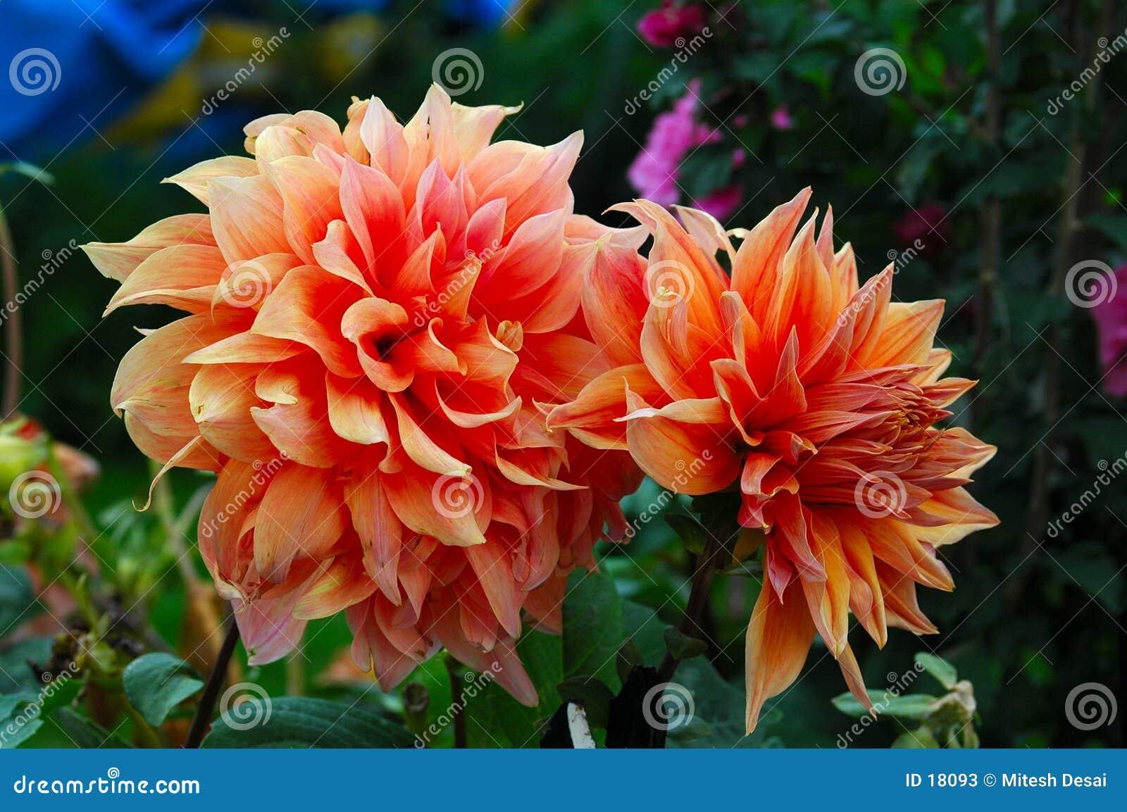 Peach kwiat