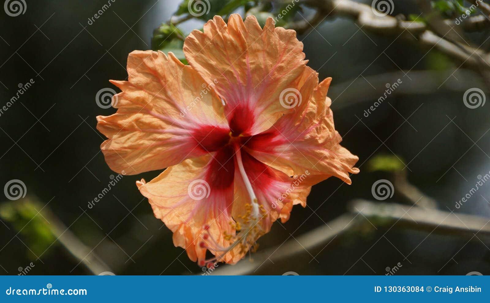 Peach Orange Hibiscus Flower In The Garden Of Kuala Lumpur Stock