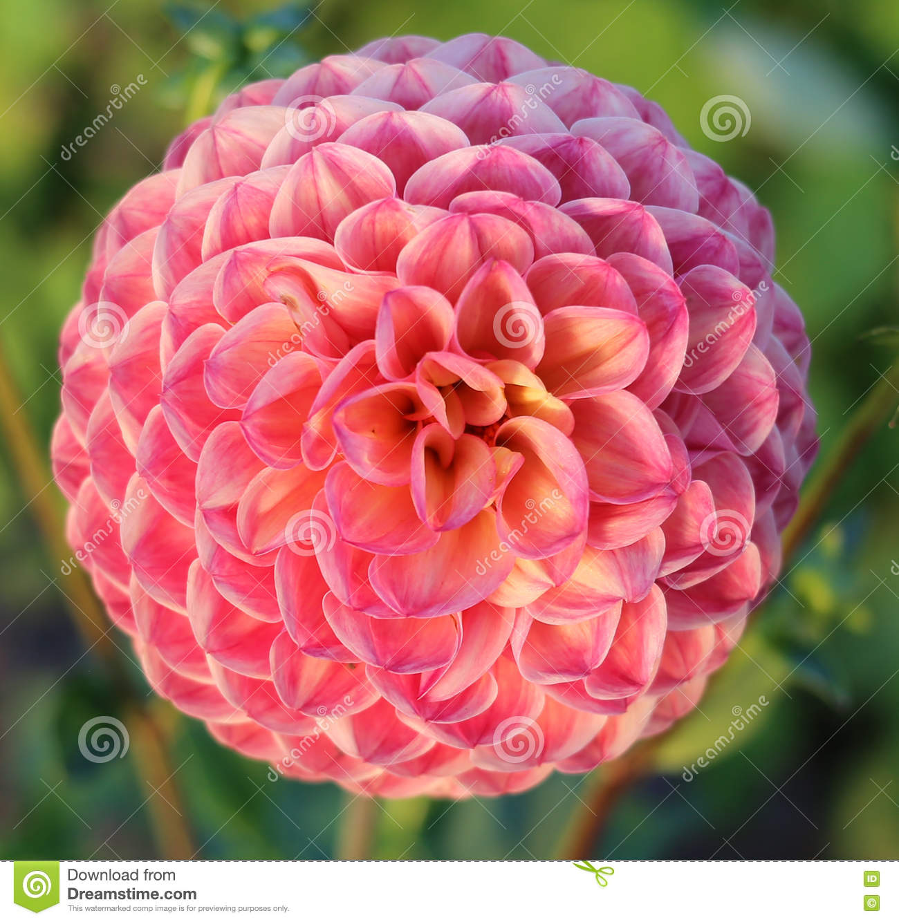 Peach Pink Dahlia Flower Close Up Stock Photo Image Of Beauty