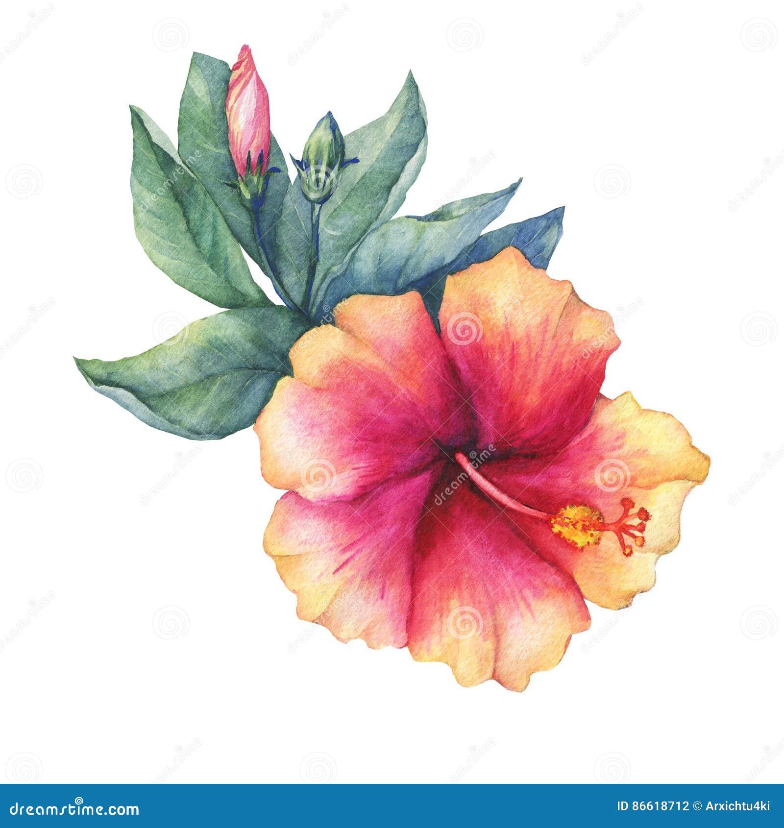 Peach Pink Hibiscus Flower Stock Illustration Illustration Of