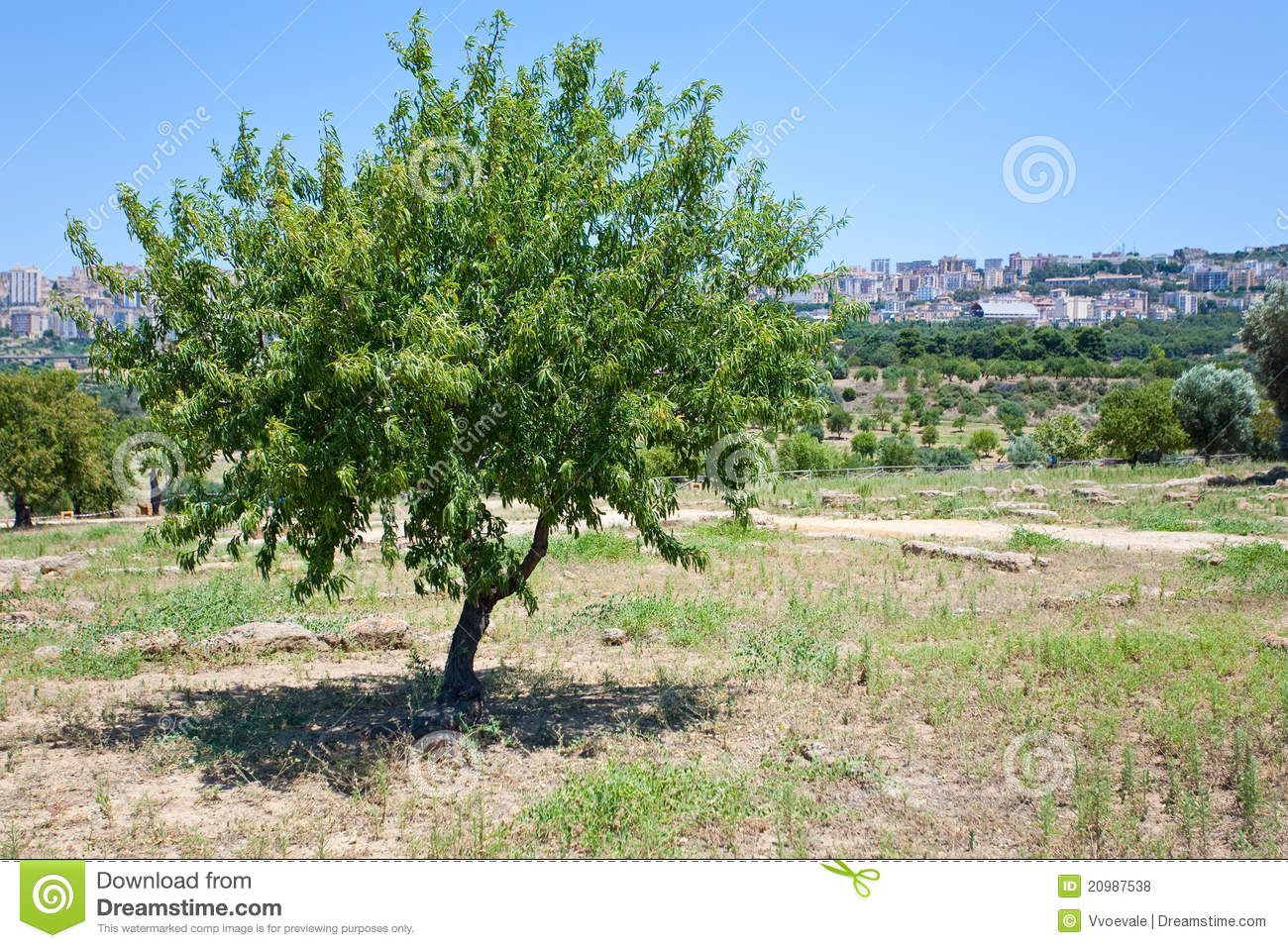 Peach Tree In Sicily Royalty Free Stock Photos Image