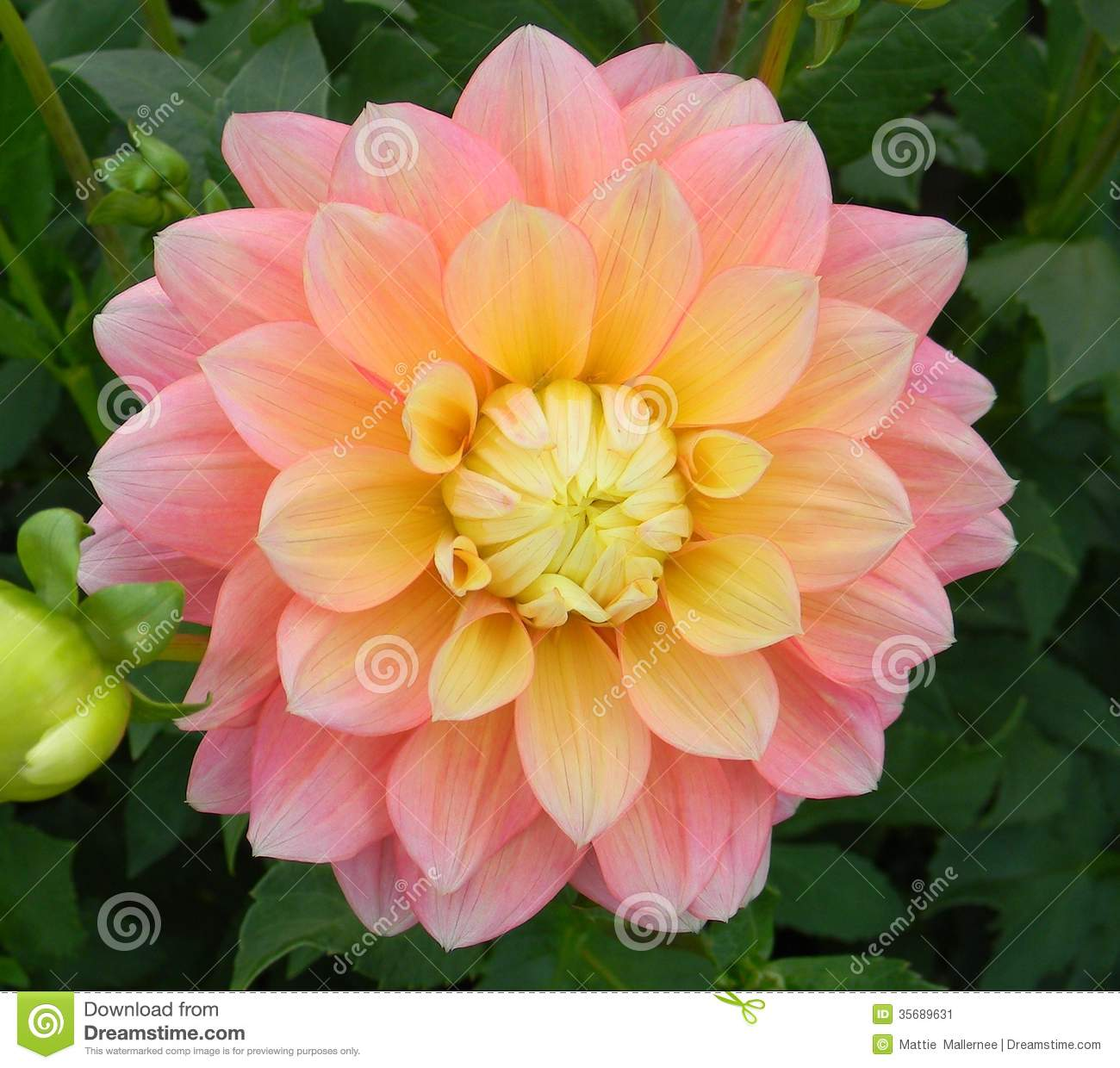Peaches And Dreams Dahlia Flower Stock Image Image 35689631