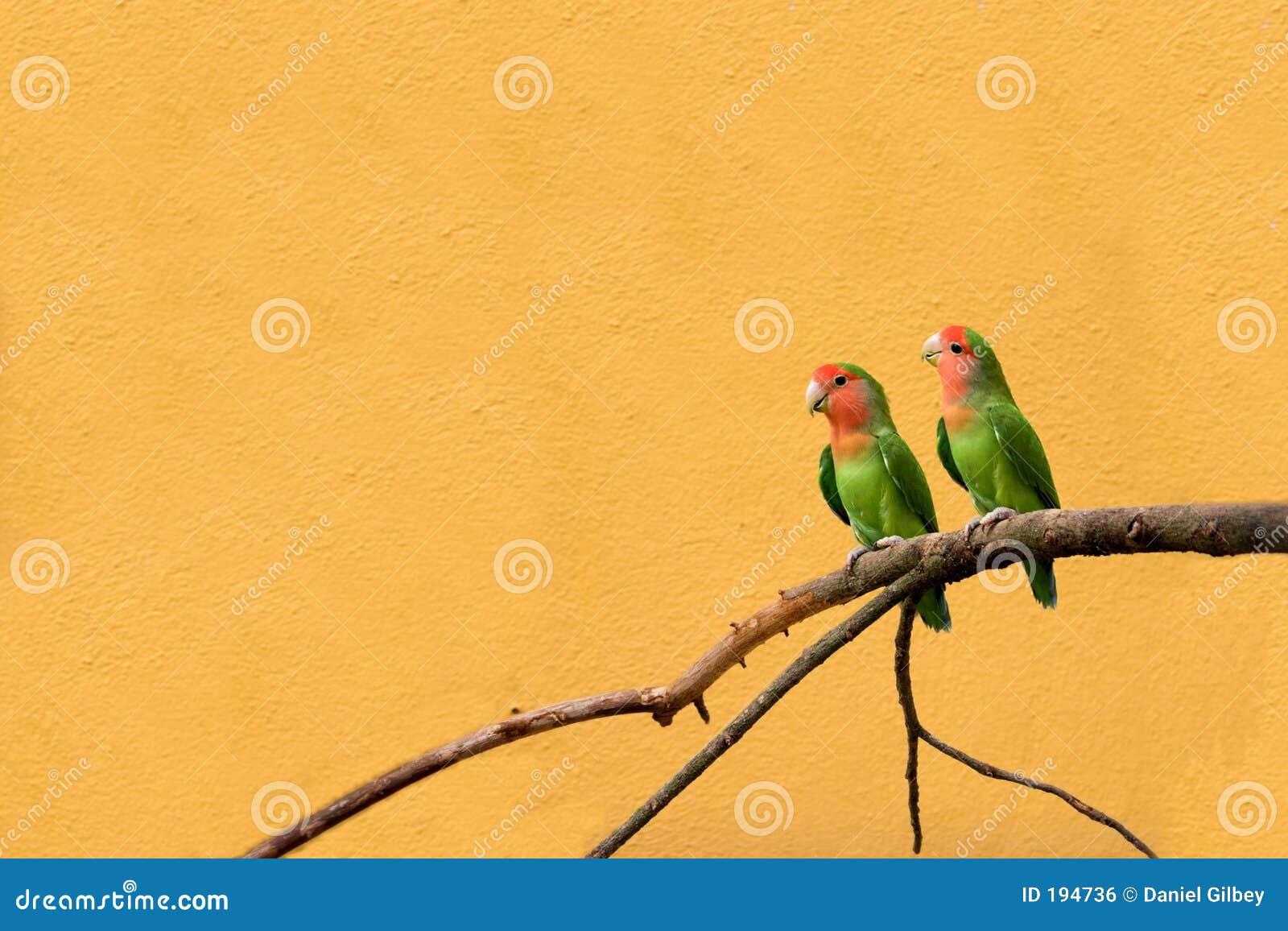 Peachfaced lovebird