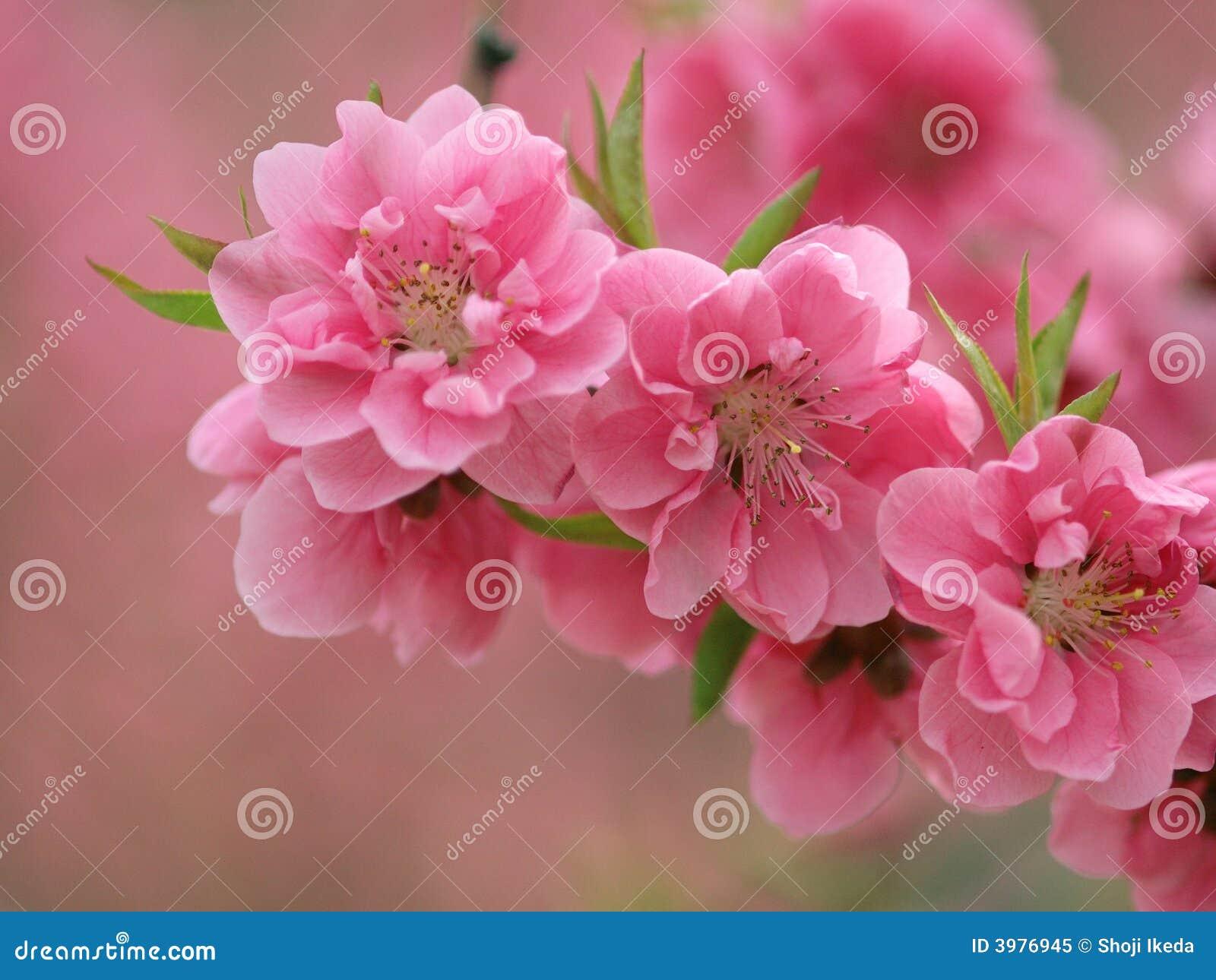 Peachs fleurissants