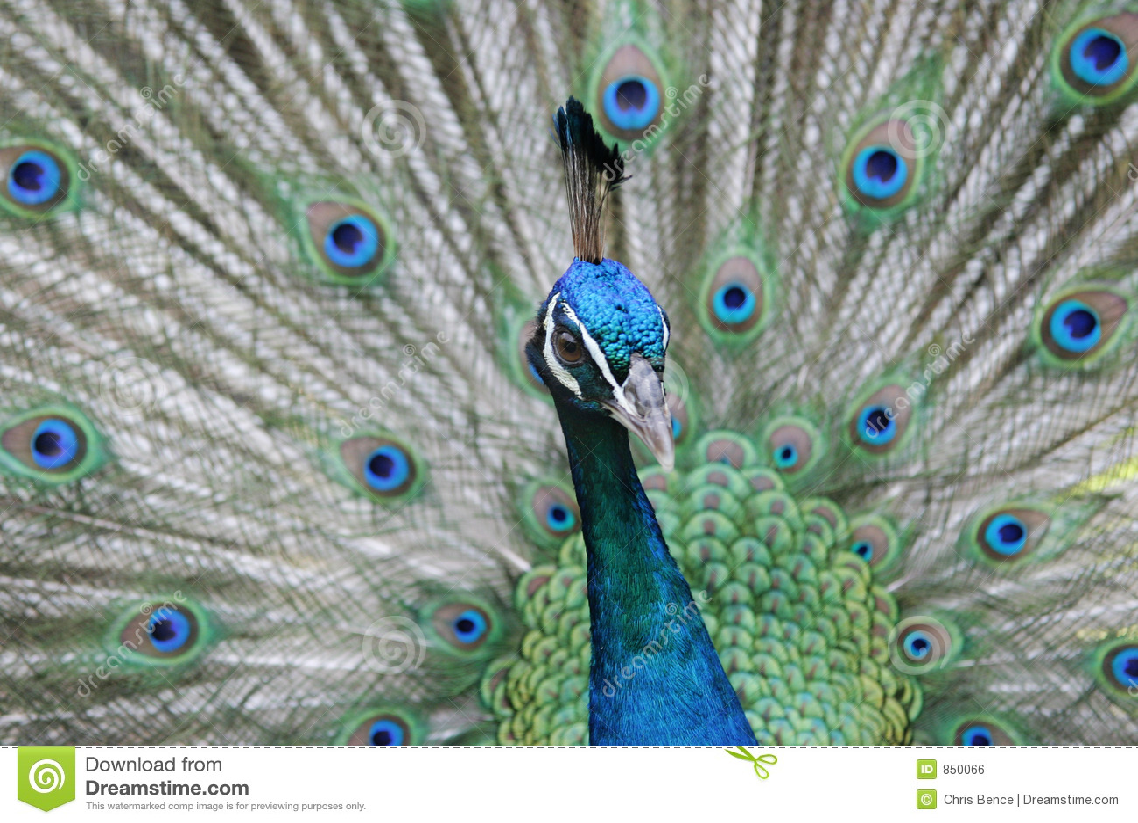 Peacock κοιτάξτε επίμονα
