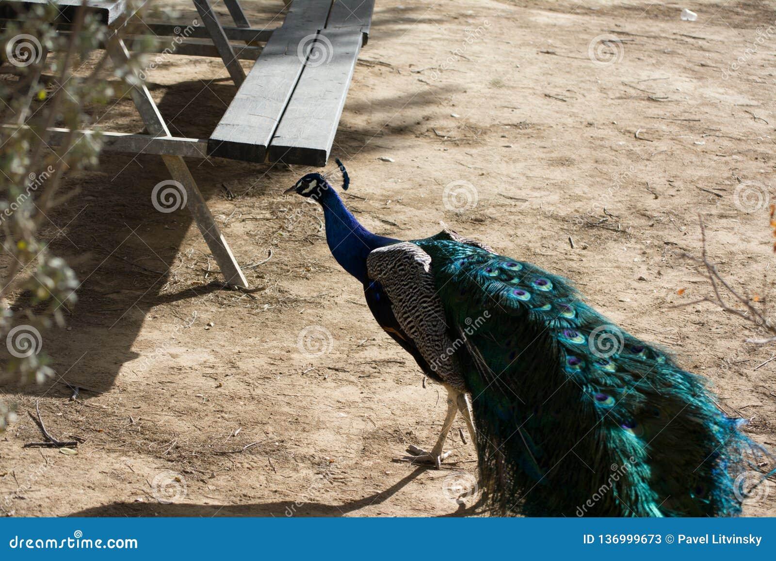 Peacock με την ανοικτή ζωηρόχρωμη ουρά Όμορφο peacock που επιδεικνύει το φτέρωμά του επενδύει με φτερά έξω peacock