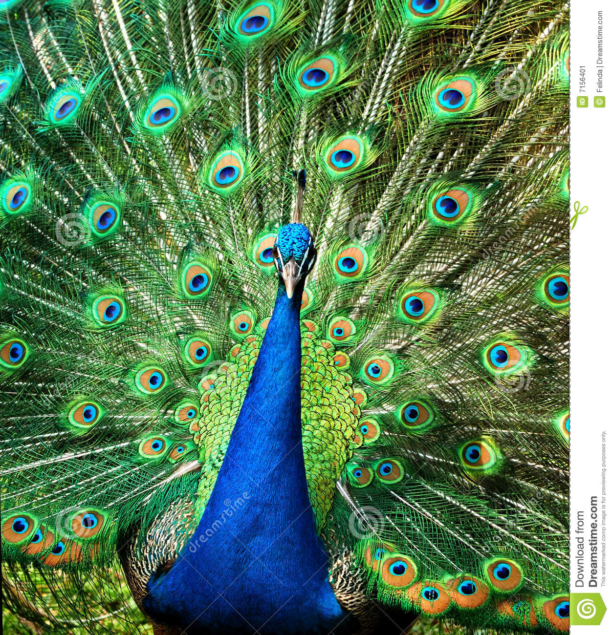 Peacock stock image. Image of bright, peacock, design ...