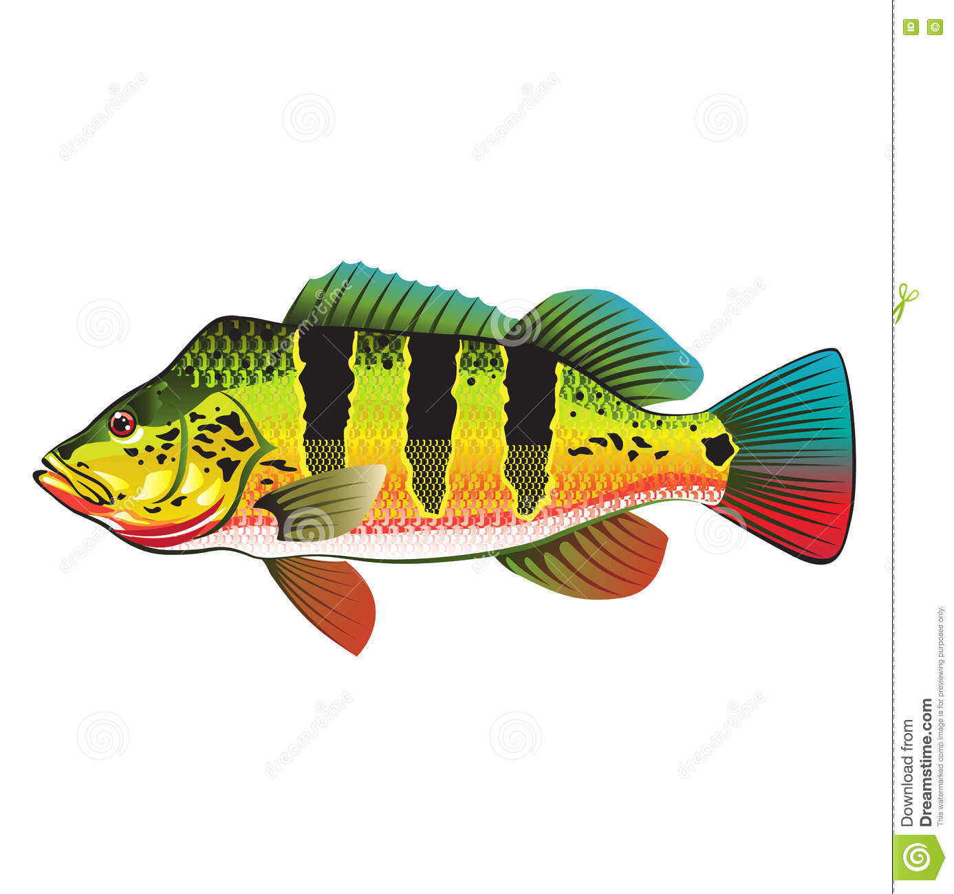 Peacock bass bright ocean gamefish illustration stock for Florida game and fish