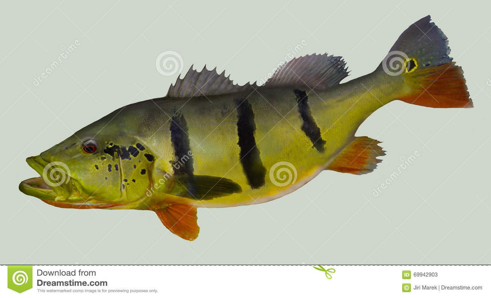 Peacock Bass Royalty-Free Stock Image