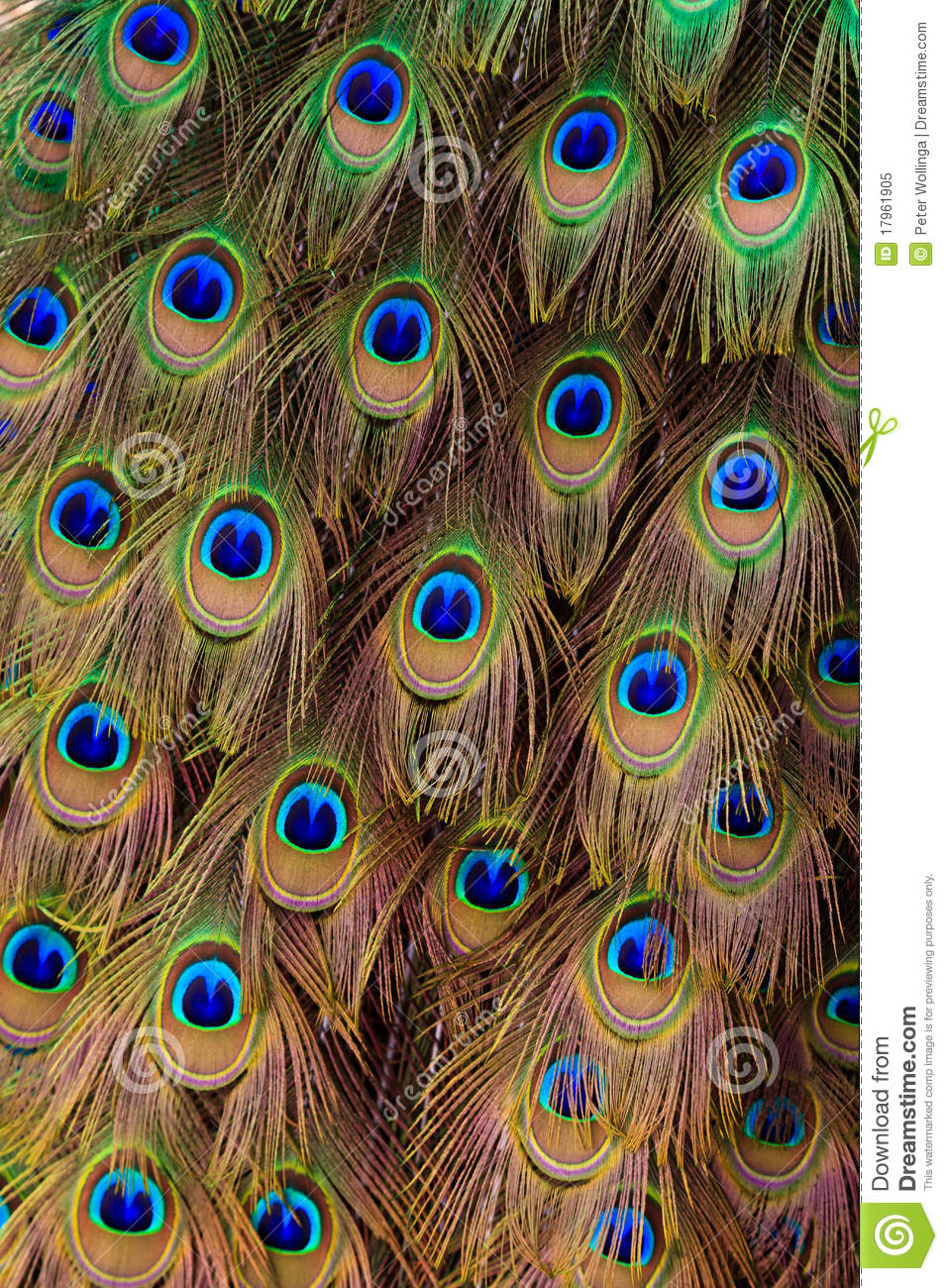 Peacock Bird Tail Feathers In Close Up Royalty Free Stock ...