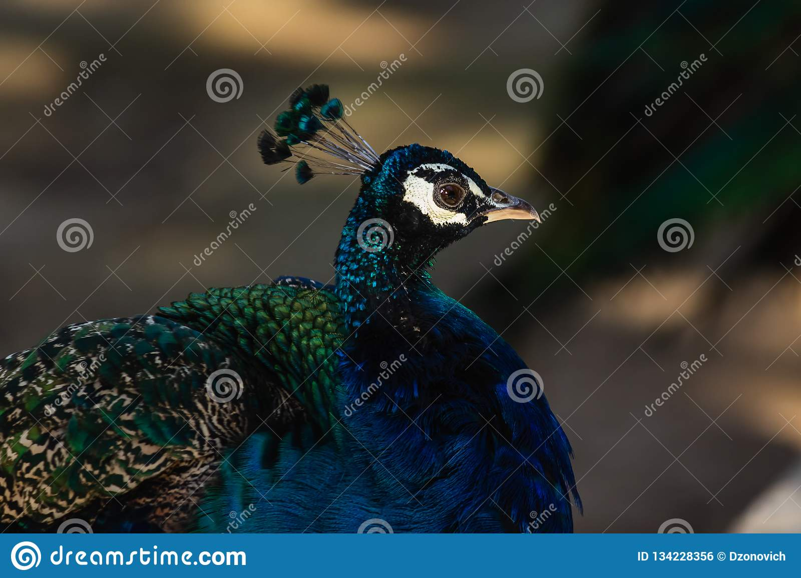 Peacock with bright colorful plumage