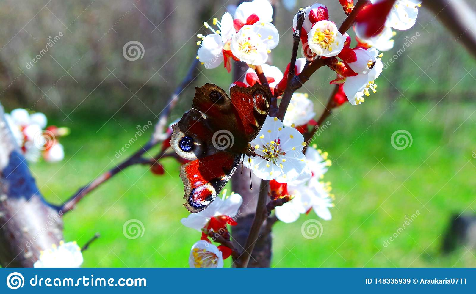 A peacock butterfly drinks nectar on a flowering apricot tree in a garden in May