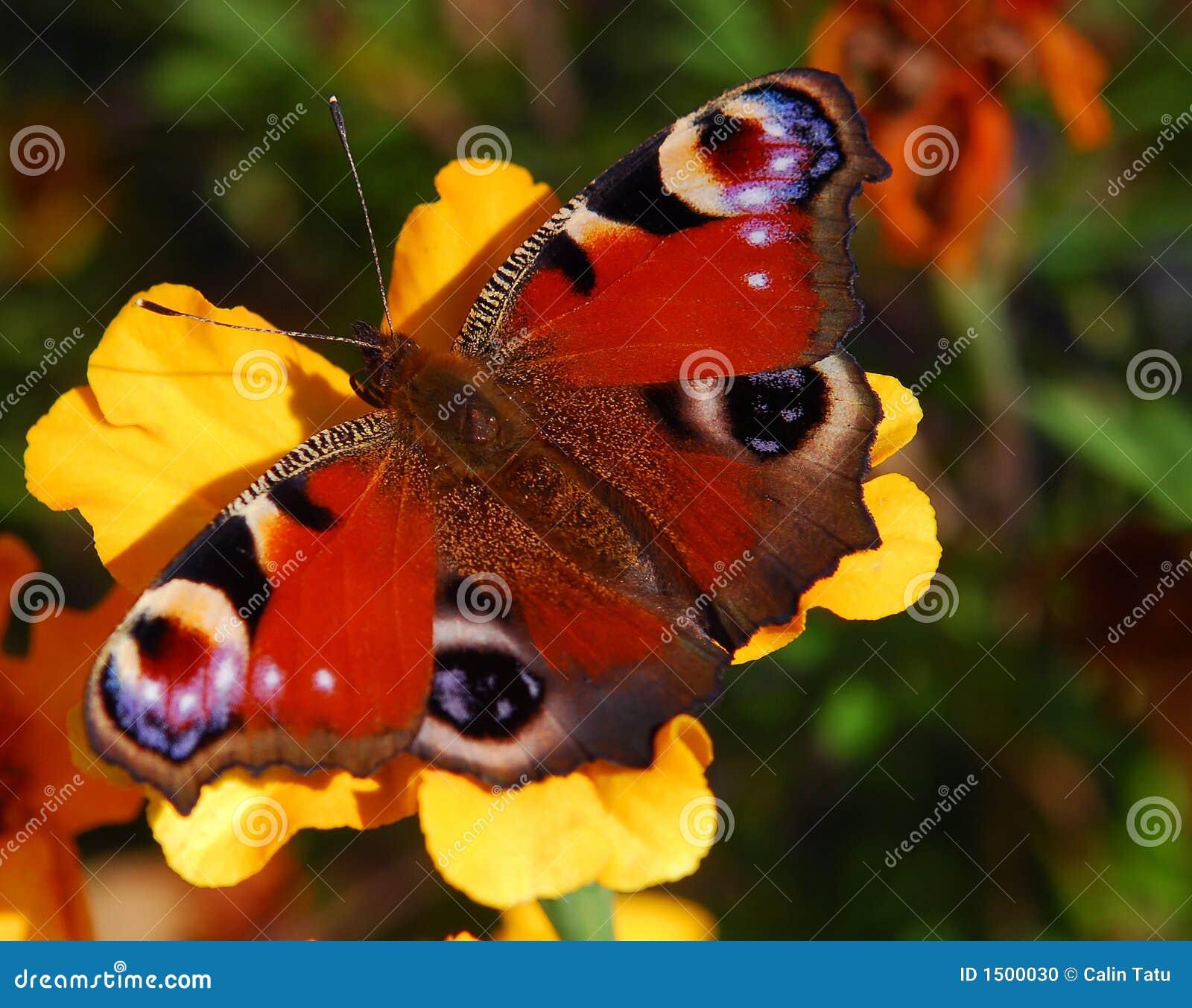 Peacock butterfly on orange flower