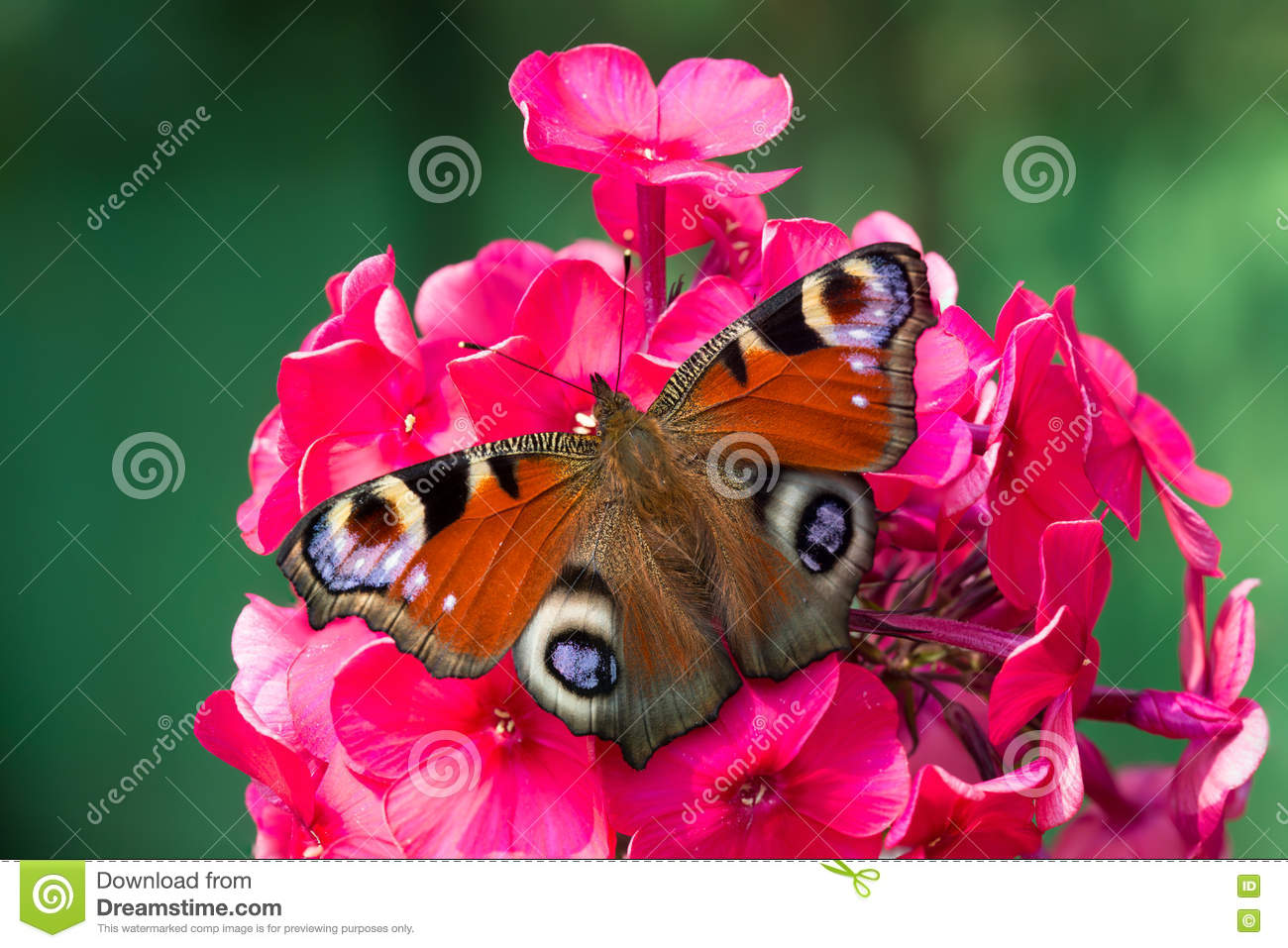 Peacock Butterfly On The Red Flower Phlox Stock Photo