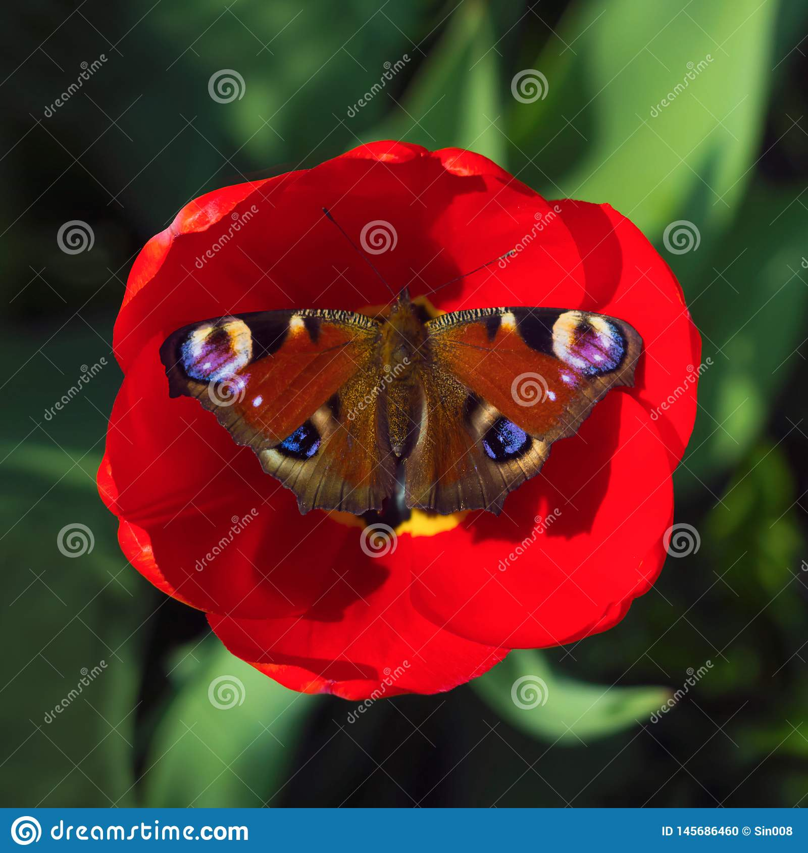 Peacock butterfly resting on a red Tulip flower on a green blurred background. Sunny summer day. Macro photo, top view close up
