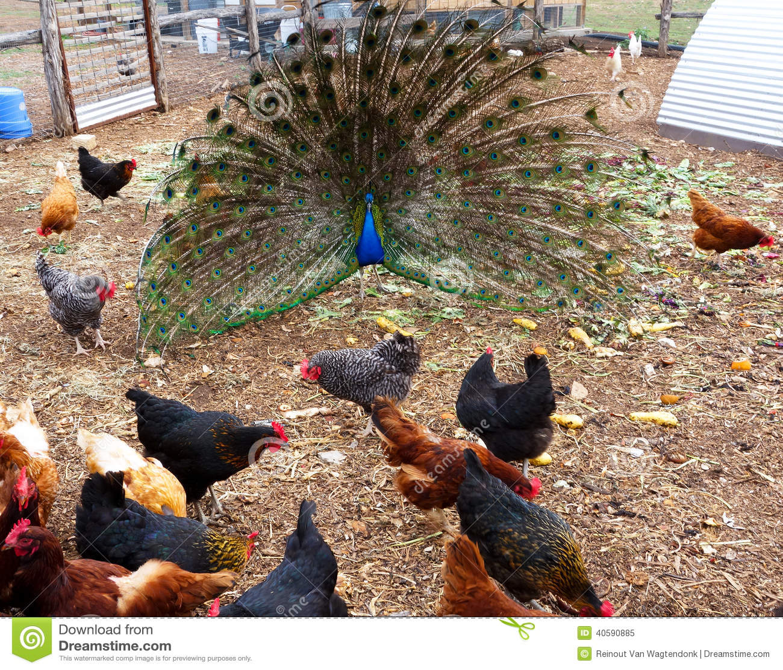 Peacock in chicken run