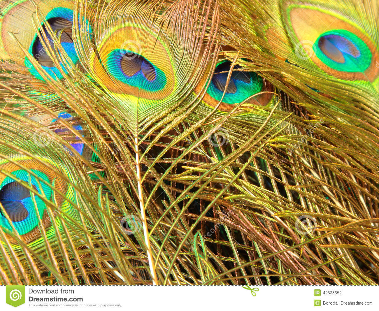 Peacock Feather Stock Photo - Image: 42535652