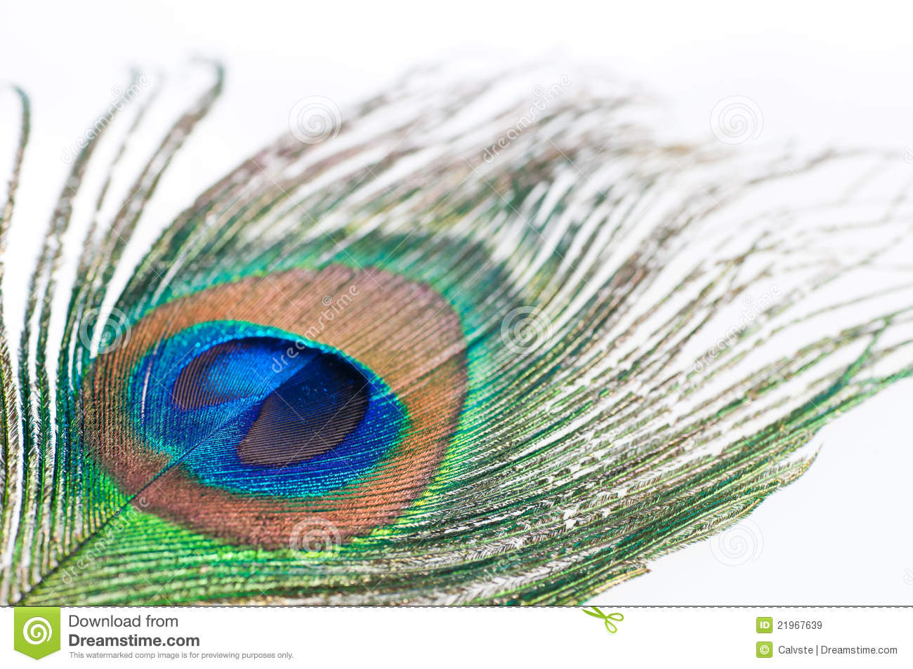 Peacock feather on white