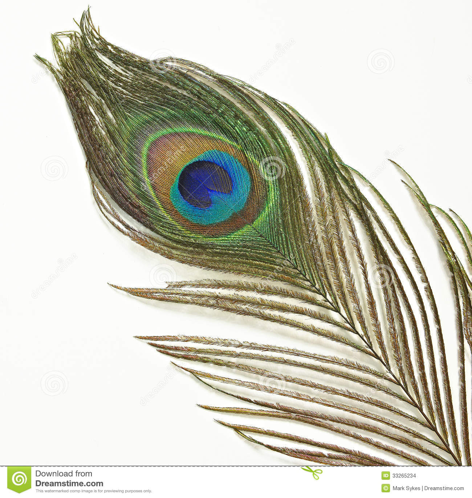 Single peacock feathers