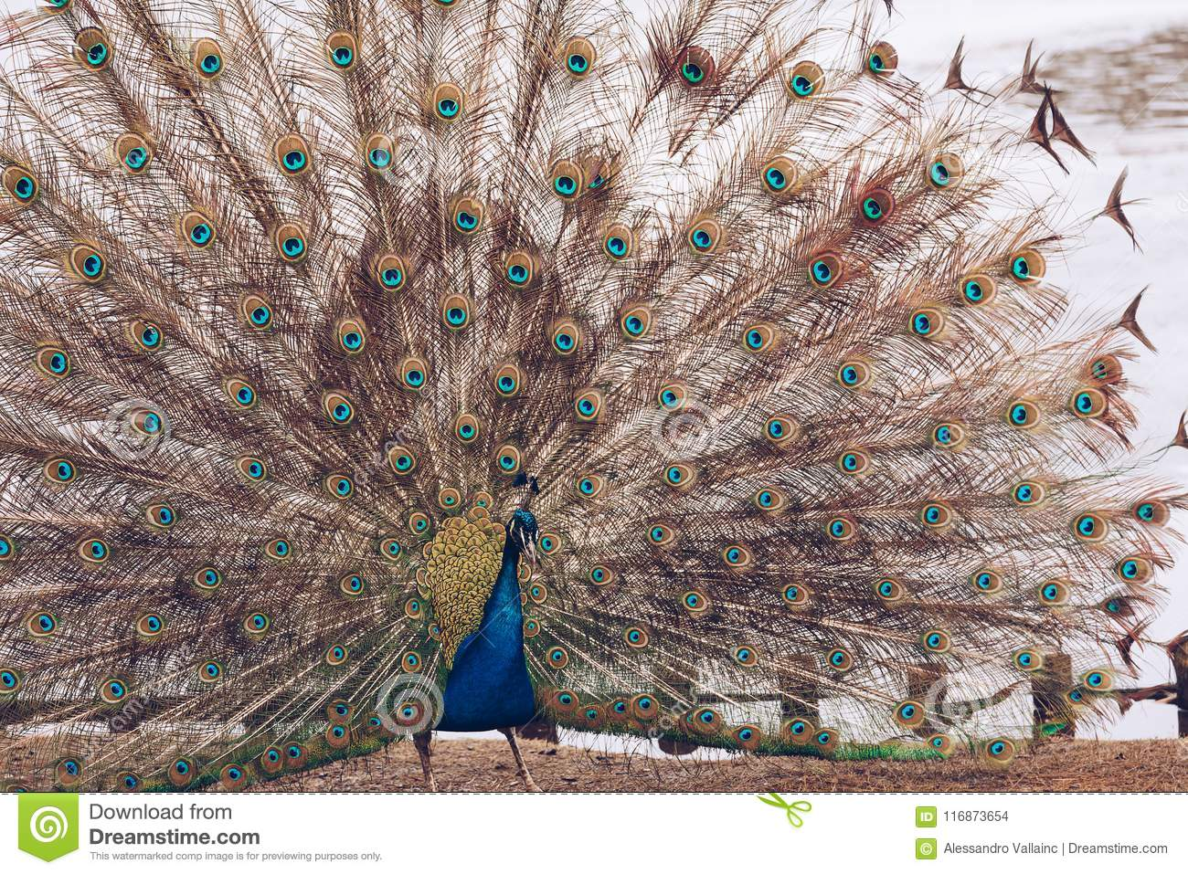 Peacock in Lazienki or Royal Baths park in Warsaw in Poland