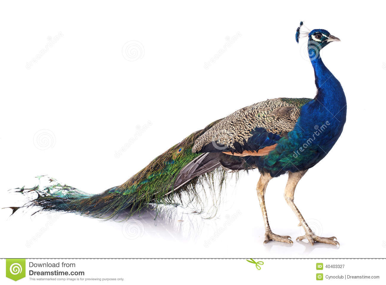 Male peacock in front of white background.