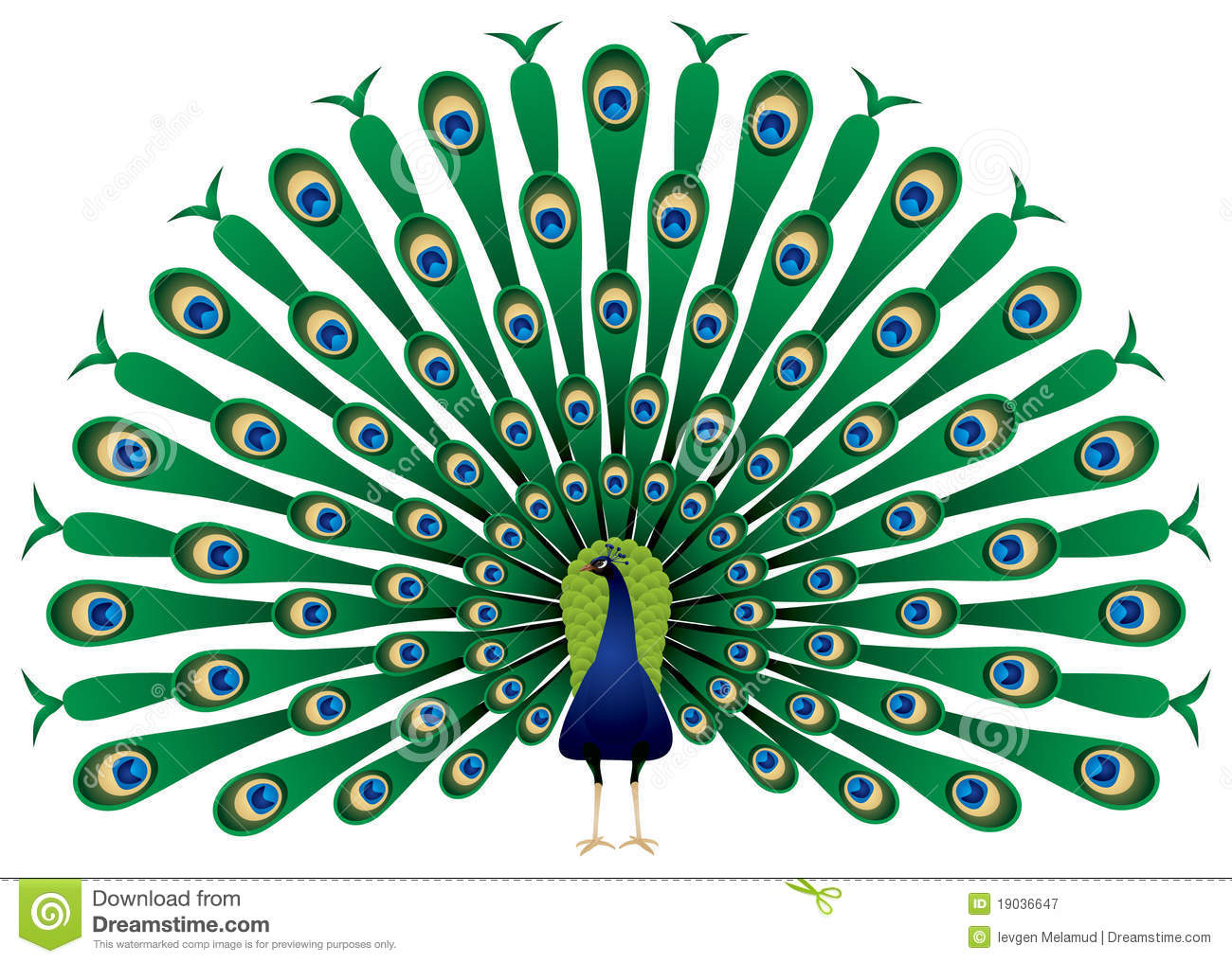 Peacock raise his feathers, image. The Indian Peafowl or Blue Peafowl ...