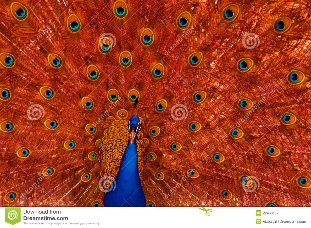 peacock with red feather display stock photography   image