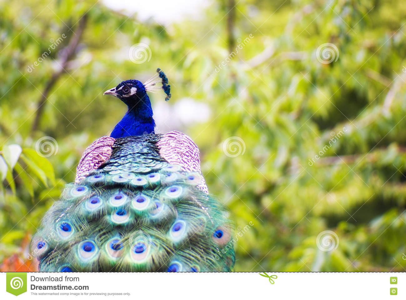Good quality photo of a peacock bird in the wild: large bright colorful  tail, straight elongated neck, deep sapphire blue head with a royal crest  (looks ...