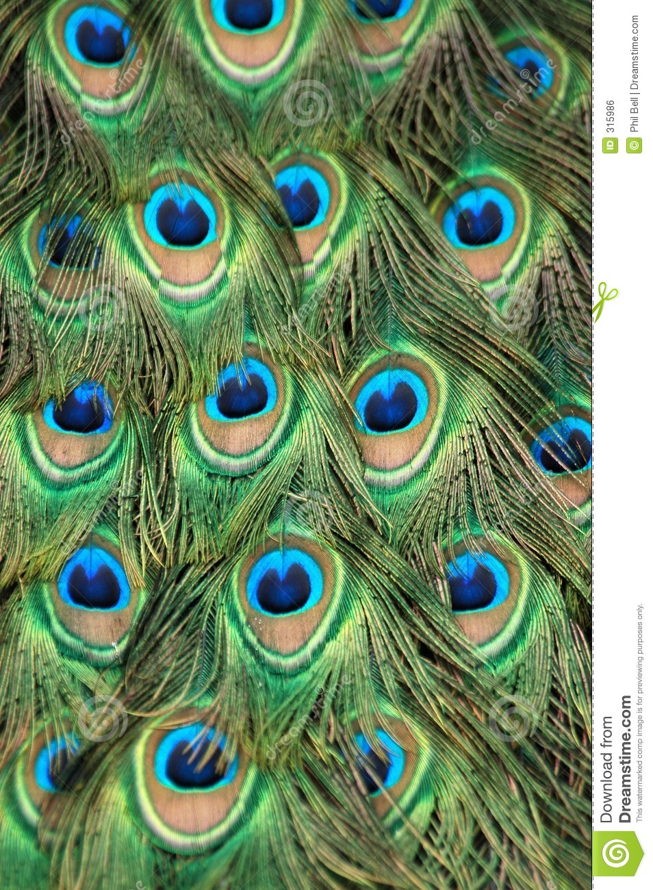 Peacock Tail Feather Royalty Free Stock Image Image 315986