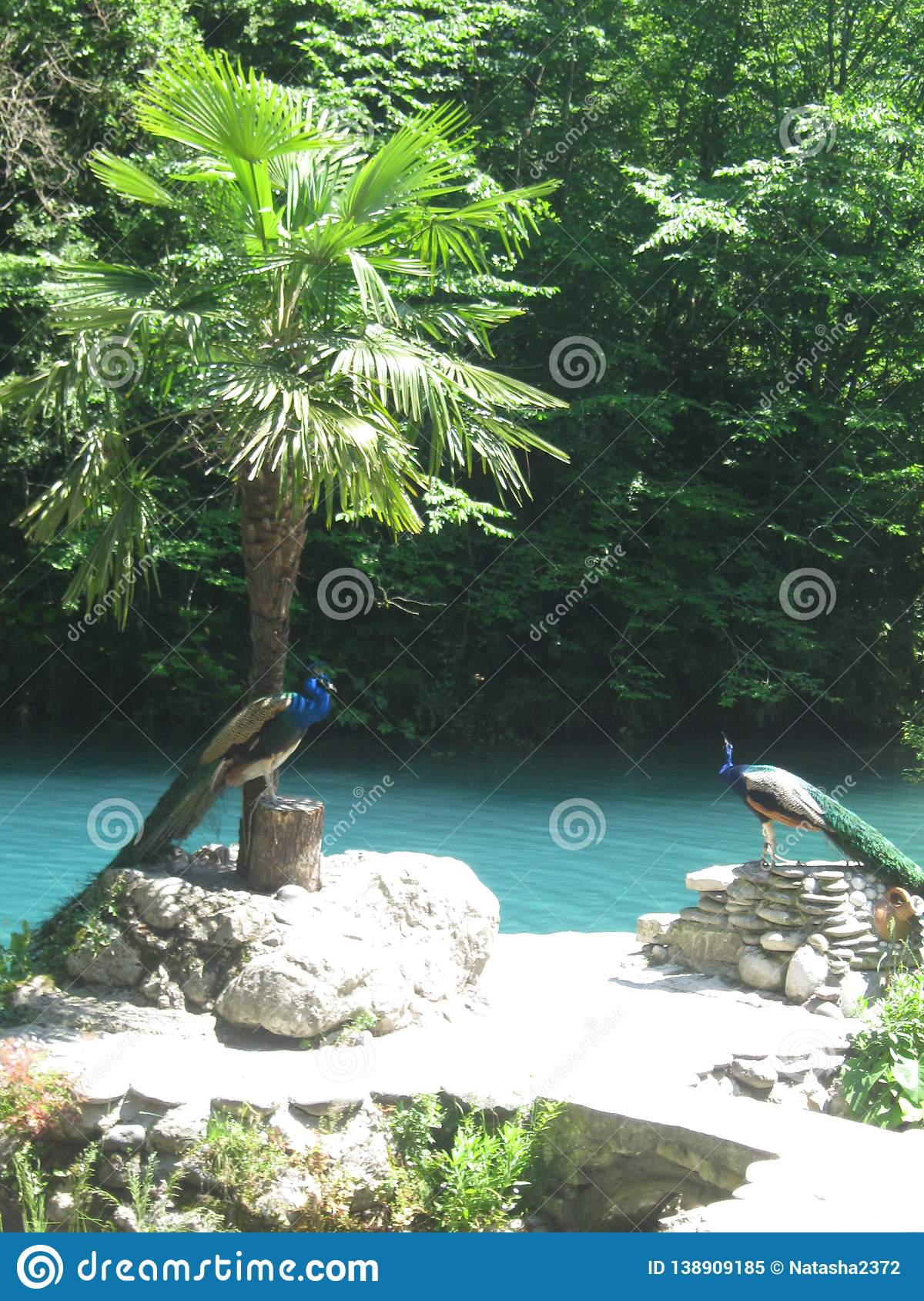 Peacocks on a background of blue lake, stones and palm trees