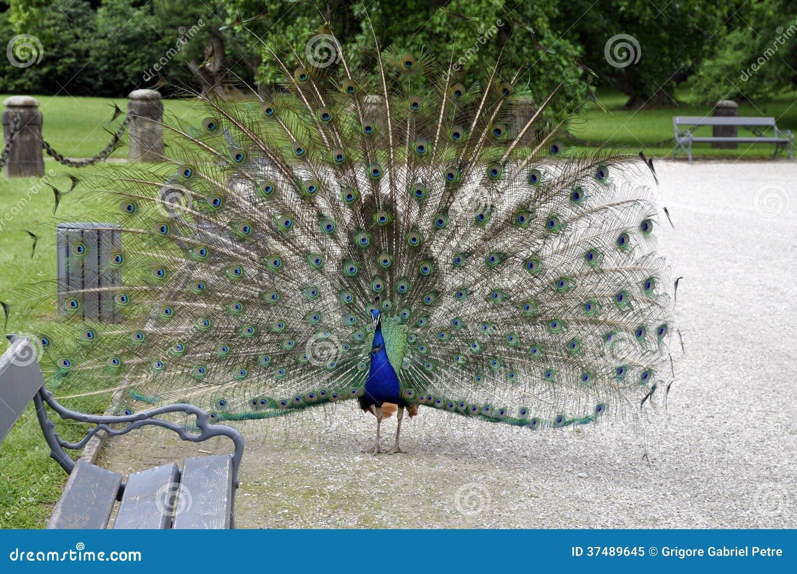 Peacok