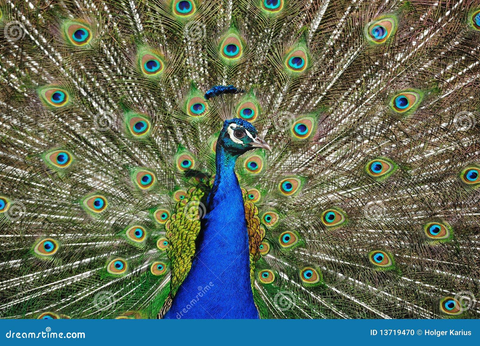 Peafowl indiano (cristatus do Pavo)