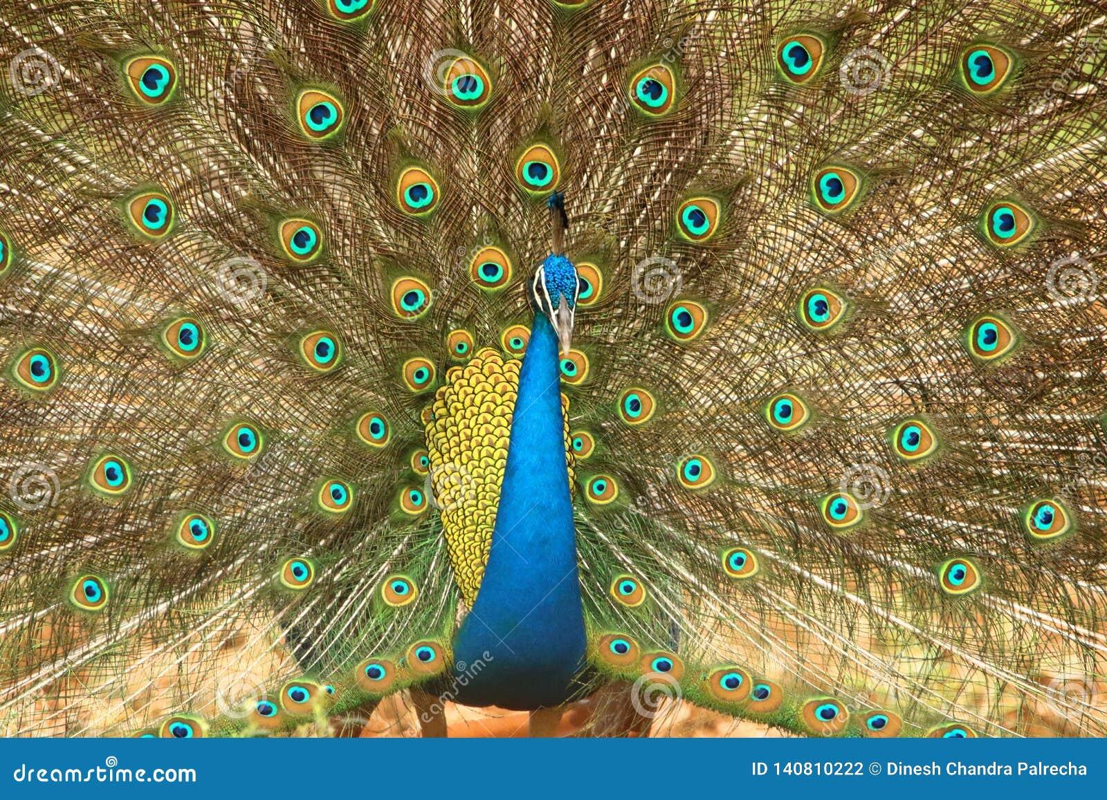 Peafowl nationell fågel av Indien