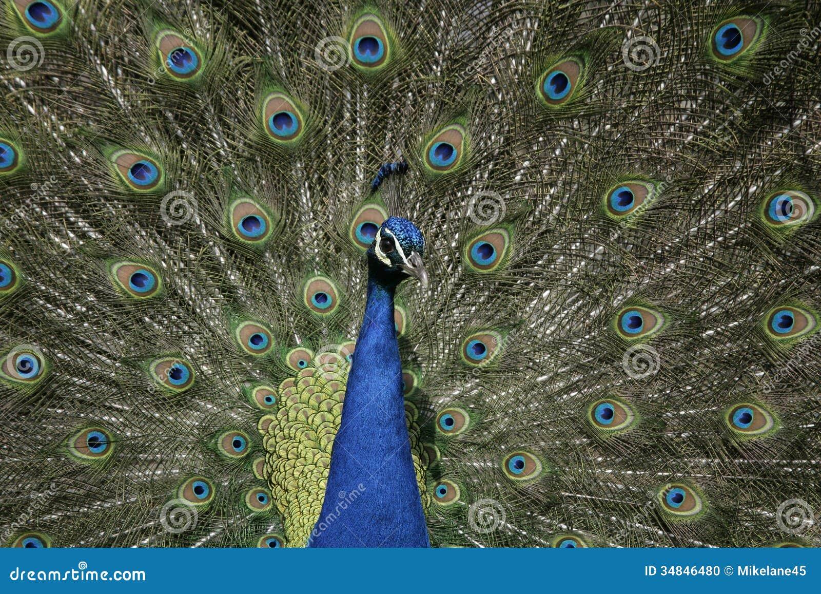 Peafowl, Pavo cristatus