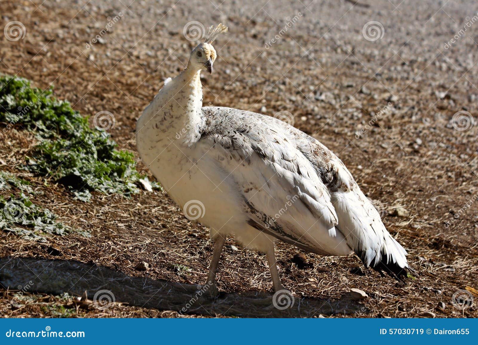 Peafowl Stock Image Image Of Nature Wild Train Male