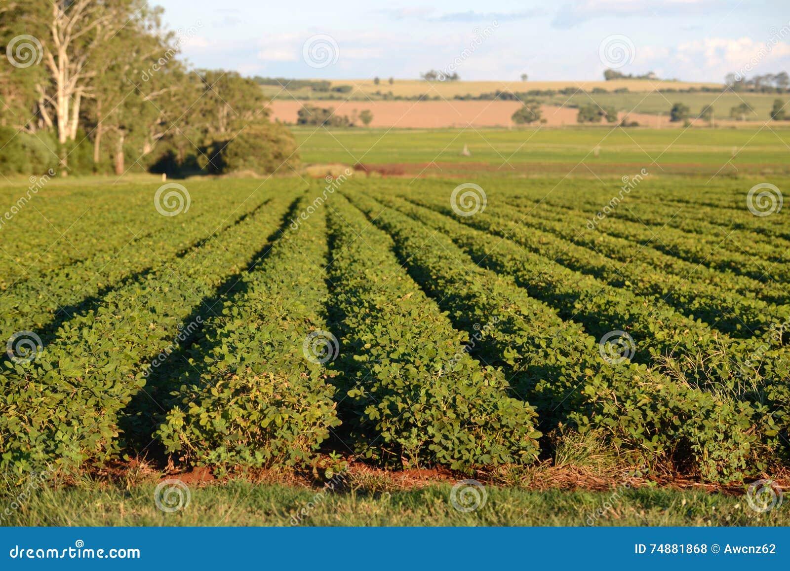 Peanut crop stock photo. Image of order, peanuts, kingaroy ... - photo#48
