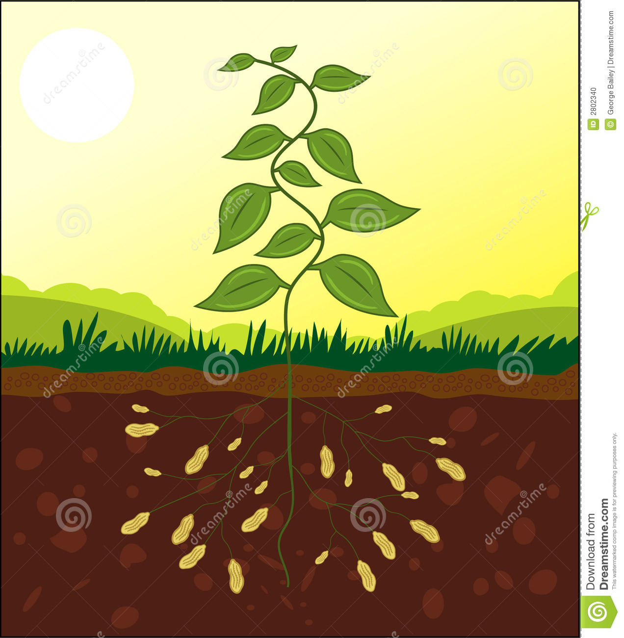 Peanut plant cross section stock vector illustration of peanuts peanut plant cross section ccuart Images